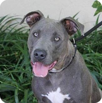 American Pit Bull Terrier Mix Dog for adoption in Red Bluff, California - CHEWY:Low fees, Neutered