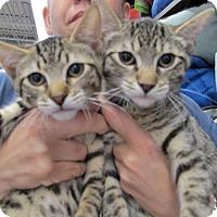 Adopt A Pet :: Jack and Jill, Wee Bonded Babies - Brooklyn, NY