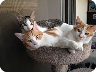 Domestic Shorthair Kitten for adoption in Studio City, California - Austin loves dogs & cats