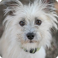 Cairn Terrier Mix Puppy for adoption in Goleta, California - Gordy
