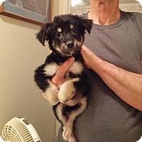 Australian Shepherd Puppy for adoption in Danbury, Connecticut - Gigi