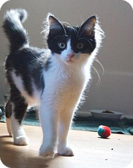 Domestic Shorthair Kitten for adoption in Livonia, Michigan - Faygo (CP)
