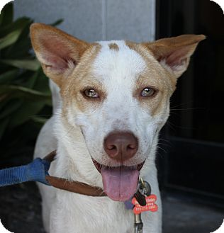 Ibizan Hound/Cattle Dog Mix Puppy for adoption in Encino, California - Iman - Myanmar Pup