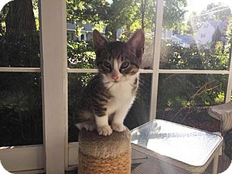 Domestic Shorthair Kitten for adoption in Madison, New Jersey - Annette