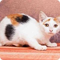 Domestic Shorthair Kitten for adoption in Orlando, Florida - *PUMPKIN