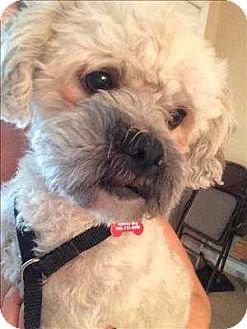 Lhasa Apso/Poodle (Miniature) Mix Dog for adoption in Encino, California - Marcus