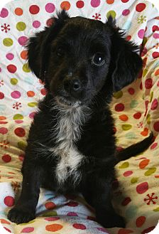 Dachshund/Chihuahua Mix Puppy for adoption in Los Angeles, California - Felix