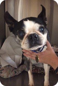 Boston Terrier Dog for adoption in Oak Ridge, New Jersey - Pickles