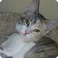 Calico Cat for adoption in Walworth, New York - Bree2