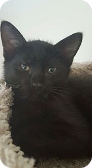 Domestic Shorthair Kitten for adoption in Plainville, Massachusetts - Bentley 4
