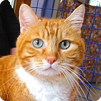 Domestic Shorthair Cat for adoption in Davis, California - Simba