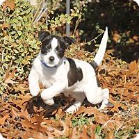 Adopt A Pet :: Booger - Flower Mound, TX