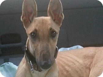 Greyhound Dog for adoption in Gainesville, Florida - Image