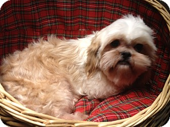 king charles spaniel shih tzu mix whimsey adopted dog yelm wa shih tzu cavalier king 6327