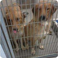 Adopt A Pet :: Bridget - Denver, CO