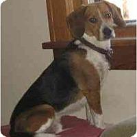 Adopt A Pet :: Buddy Beagle - Belleville, MI