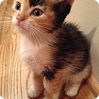 Adopt A Pet :: Snickerdoodle - Phoenix, AZ