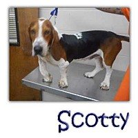 Adopt A Pet :: Scotty - Marietta, GA