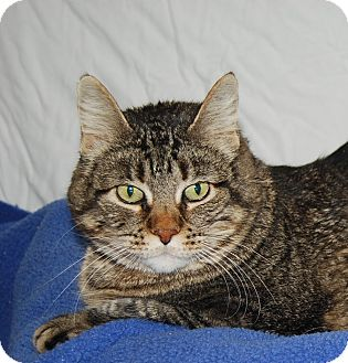 Domestic Shorthair Cat for adoption in Ridgway, Colorado - KitCat
