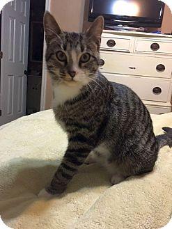 Domestic Shorthair Cat for adoption in Huntsville, Alabama - George M