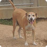 Terrier (Unknown Type, Medium) Mix Dog for adoption in House Springs, Missouri - Speedy G.