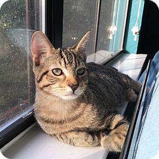 Domestic Shorthair Cat for adoption in Arlington/Ft Worth, Texas - Linus