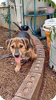 Beagle Mix Puppy for adoption in greenville, South Carolina - Zeppelin
