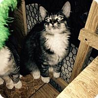 Adopt A Pet :: Bonhoeffer - Cardwell, MT
