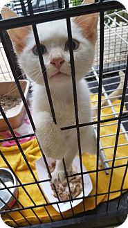 Domestic Shorthair Kitten for adoption in Fort Worth, Texas - Sunshine