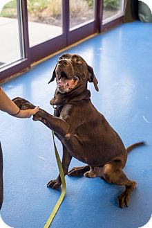 Labrador Retriever Dog for adoption in Silver Spring, Maryland - Jetty