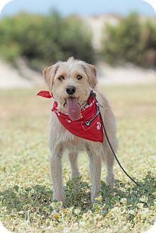 Terrier (Unknown Type, Medium) Mix Dog for adoption in La Jolla, California - Robbie
