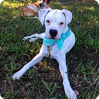 Boxer Dog for adoption in Pacolet, South Carolina - STORM