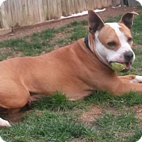 Staffordshire Bull Terrier Dog for adoption in Akron, Ohio - CALLIE