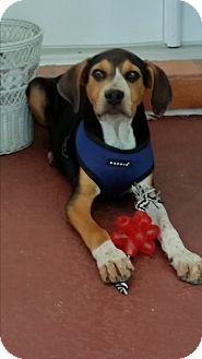 Hound (Unknown Type) Mix Dog for adoption in Seminole, Florida - Hank