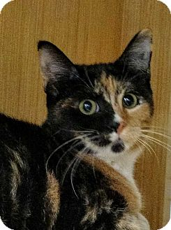 Calico Kitten for adoption in Dallas, Texas - Cher (Shelly)
