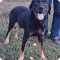 Rottweiler/Coonhound Mix Dog for adoption in Somonauk, Illinois - Jake