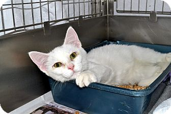 Domestic Shorthair Cat for adoption in Broadway, New Jersey - Ontario