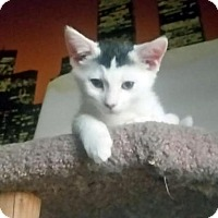 Adopt A Pet :: Cosmo - Chandler, AZ