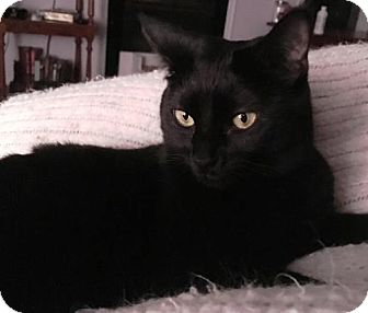 Domestic Shorthair Cat for adoption in Aurora, Colorado - Skylar
