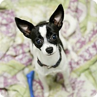 Adopt A Pet :: Chimichanga - Kettering, OH
