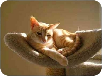 Domestic Shorthair Cat for adoption in Columbia, South Carolina - Cassie and Ellie