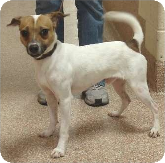 jack russell terrier mass junior adopted dog worcester ma fox terrier toy 4101