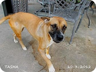 Black Mouth Cur Mix Dog for adoption in Silsbee, Texas - Tasha