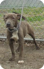 American Pit Bull Terrier Mix Puppy for adoption in Gary, Indiana - Betsey