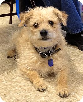 Poodle (Miniature)/Terrier (Unknown Type, Small) Mix Dog for adoption in Phoenix, Arizona - Sherman