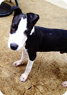 Bull Terrier Mix Puppy for adoption in Silsbee, Texas - Snoopy