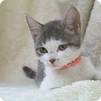 Adopt A Pet :: Cora - Arlington, VA