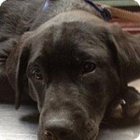 Adopt A Pet :: Kohl - North Wales, PA