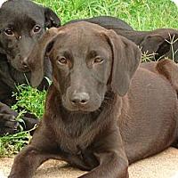 Adopt A Pet :: Scout - Warrenton, NC