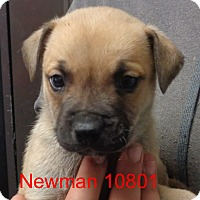 Adopt A Pet :: Newman - baltimore, MD